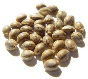 3 dozen Cannabis achenes (seeds)